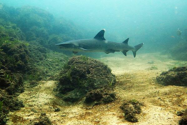 A white-tip reef shark spotted at the Catalinas Islands. These creatures are shy and graceful, and an important part of the ecosystem that ConnectOcean is looking to protect