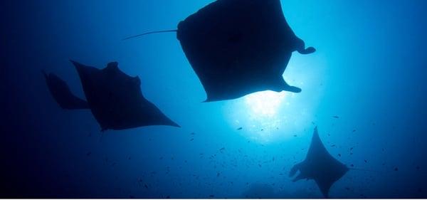A school of oceanic giant manta rays